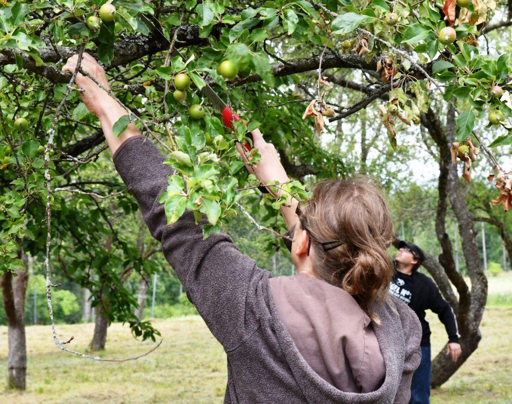 LEADER Kamptal - Alte Obstbäume erhalten und pflegen