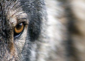 Managementplan Wolf Salzburg